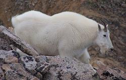 mountain_goat